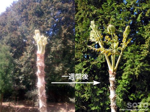 山小屋の植物(タラの芽)