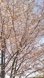 山小屋の桜
