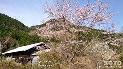 山小屋の桜2016