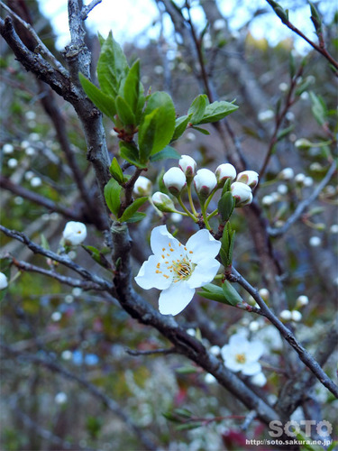 山小屋の花(あんず)