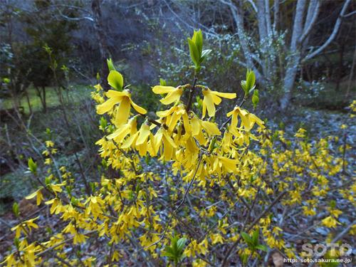 山小屋の花(レンギョウ)