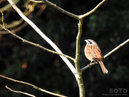 山小屋の野鳥