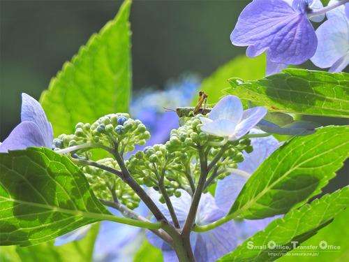 山小屋2020初夏(紫陽花とバッタ)