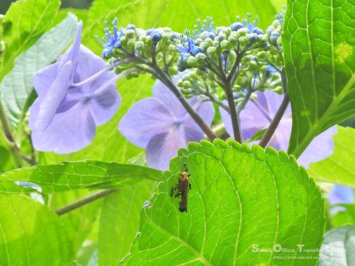 山小屋2020初夏(紫陽花と虫)