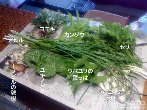 山小屋の山菜たち