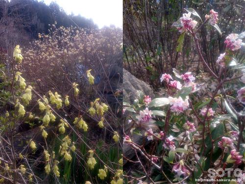 山小屋の花(ミズキと沈丁花)