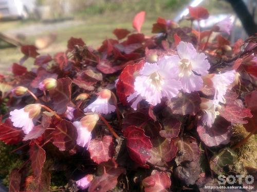 山小屋の花(イワウチワ)