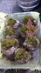 軽石鉢植え(1)