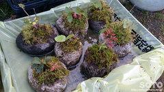 軽石鉢植え(2)